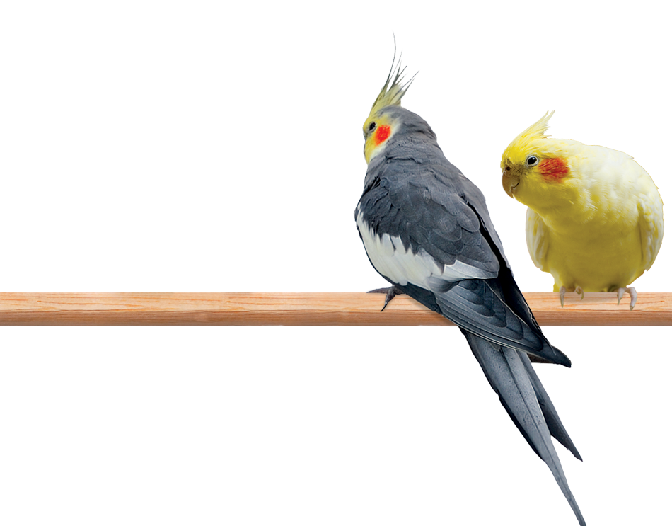 Photo of a male and female Cockatiel perched on a limb