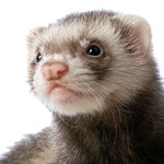 Close-up photo of a Ferret