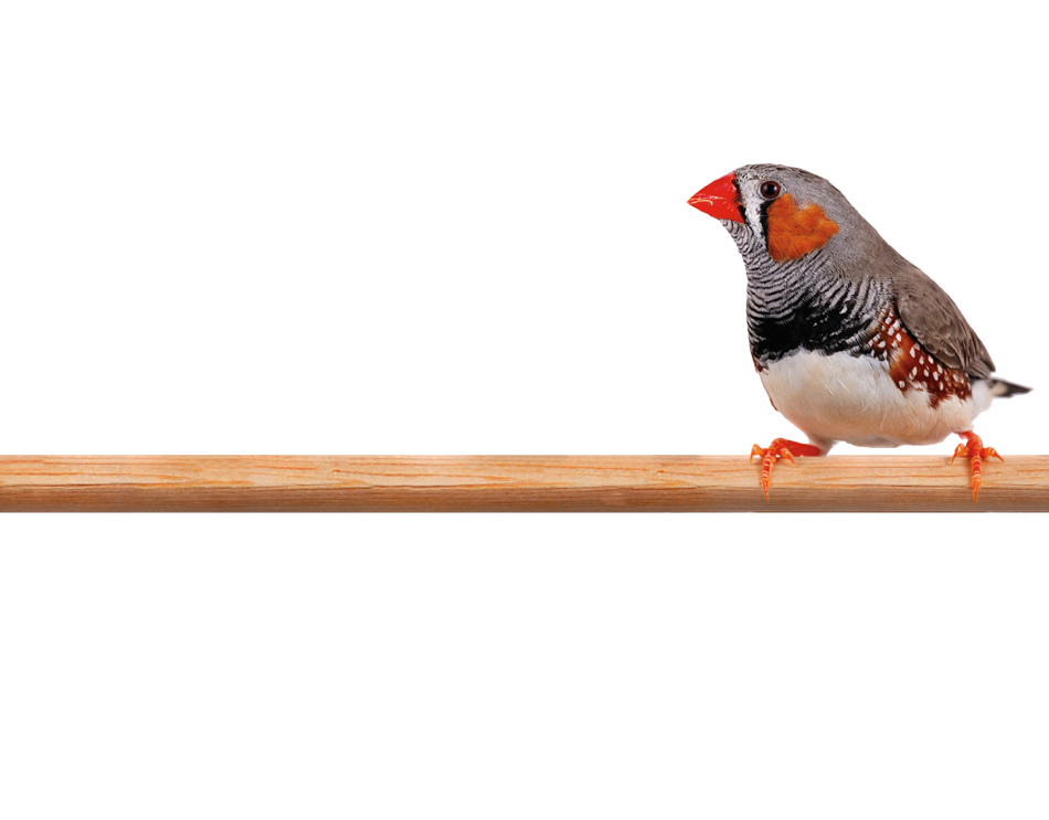 Photo of a Zebra Finch perched on a limb