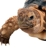 Close-up photo of a large tortoise