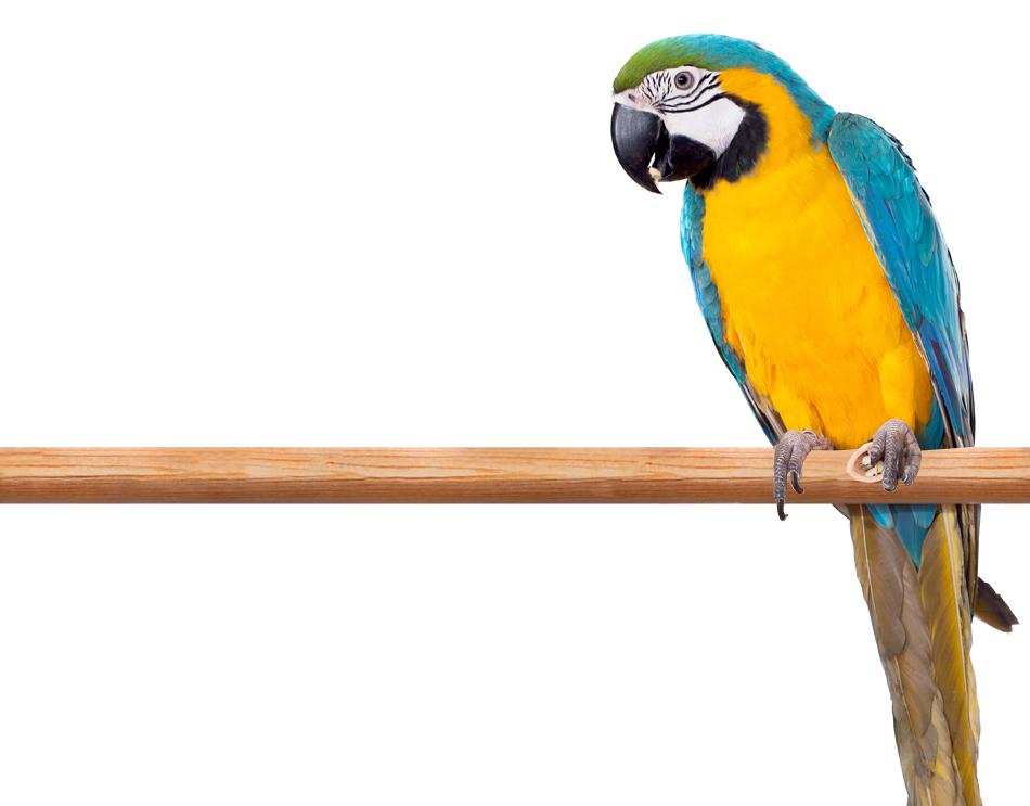 Photo of a blue and yellow Macaw perched on a limb