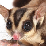 Close-up photo of a Sugarglider