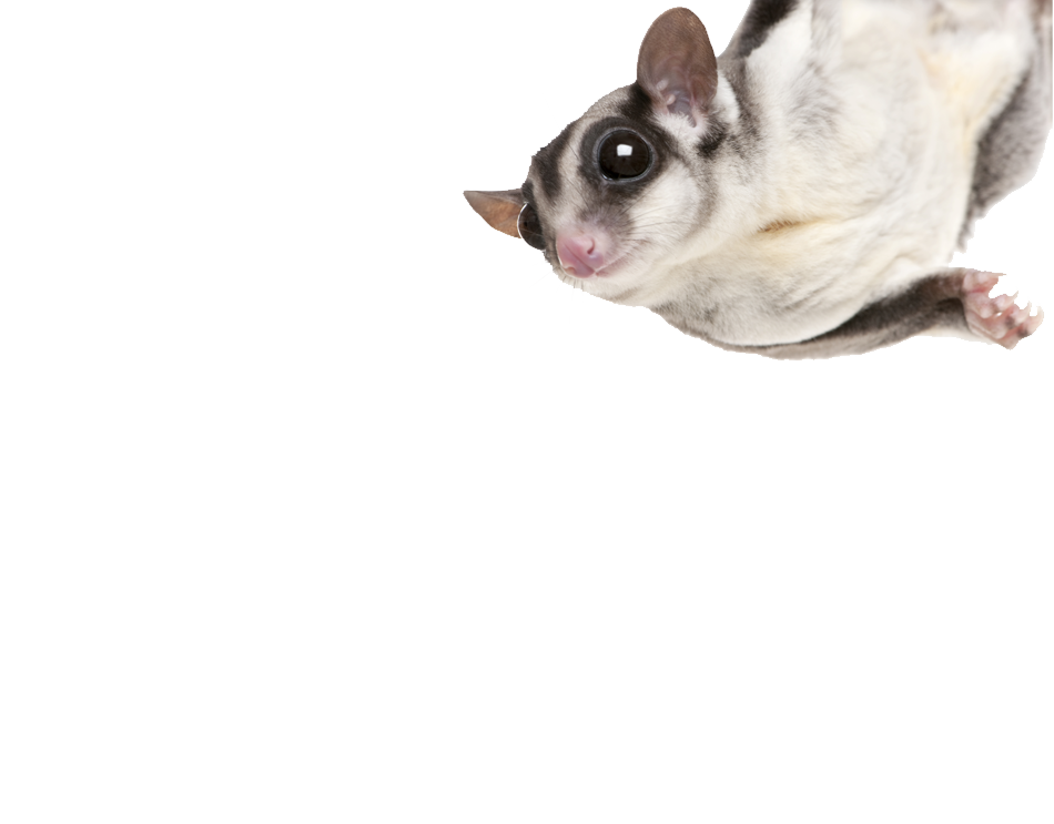 photo of a sugarglider hanging from a limb